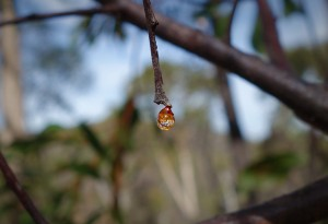 Tree sap on a tree